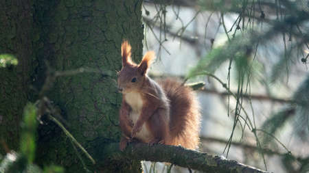 Red Squirrel in winter plumage on branch of a fir tree. Squirrels in Park in Europe Foto de archivo