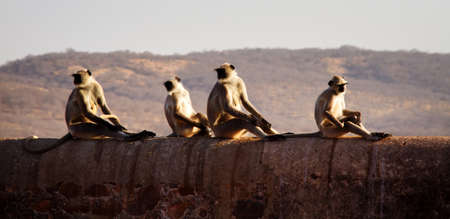 leader of langurs calmly reacts to actions of a pack of monkeys. India