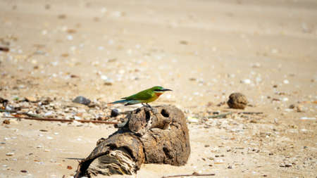 Blue-tailed Bee-eater (Merops philippinus) sits on a beautiful root, bird on the Indian ocean coast waiting for insects to be over sea. Sri Lanka