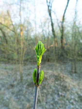 Spring in the forest and maple ash (Acer negundo) turgent buds, threw out green leaves