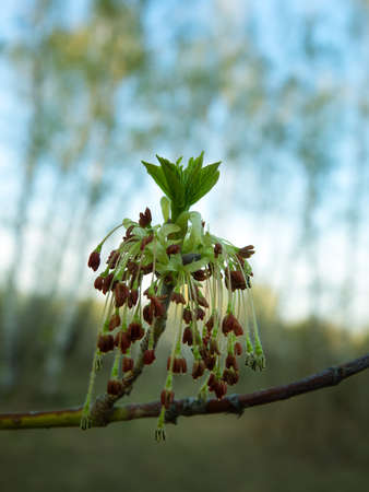 Spring in the forest and maple ash (Acer negundo) blooms with elegant hanging earrings