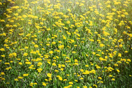 The most massive and visible flower of spring is dandelion or blowball or Irish daisy. Fields of dandelions like green-orange carpet, phenological yellow aspect