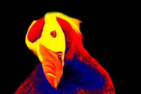 Fratercula in scientific high-tech thermal imager on black background isolated Foto de archivo