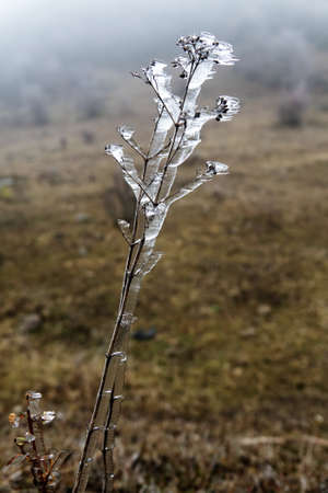 After the freezing rain (glazed rain). Note that as the plants glaciated the freezing of the ice followed the direction of the wind Stock Photo