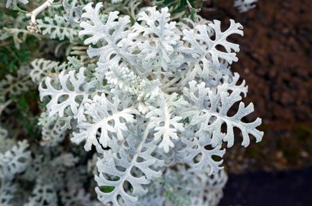 Beautiful decorative silvery wooly curly leaves ornamental plant Jacobaea maritima Senecio