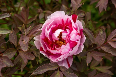 Red and pink Itoh Peony in spring garden Stock Photo