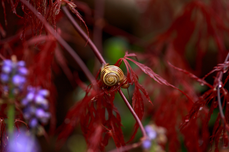 snail sitting on Red foliage of the weeping Laceleaf Japanese Maple tree Acer palmatum in garden