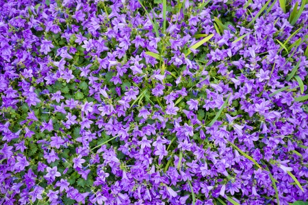Violet colored Campanula muralis flowers as a background growing in the garden Stock Photo