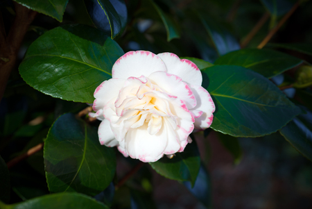 japanese Camellia. Camellia japonica. white and pink flower Stock Photo