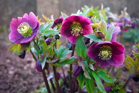 purple hellebore flower in the green garden