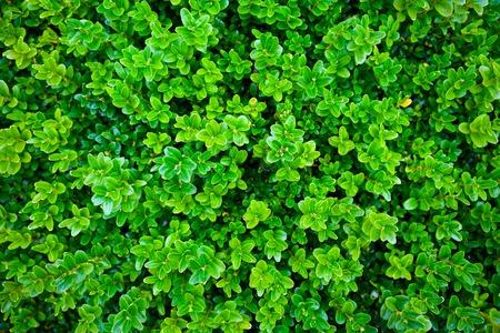 green vibrant boxwood bush texture in garden. Stock Photo