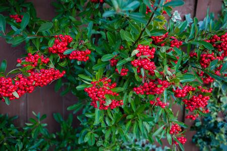 Baies rouge vif de cotonéaster de busserole, dammeri aux feuilles vertes