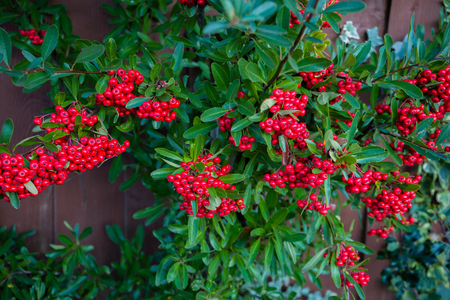 Bright red berries of bearberry cotoneaster, dammeri with green leaves
