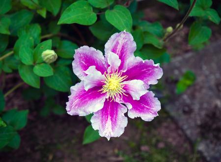 beautiful deep pink, Purple flower Clematis in garden. Zdjęcie Seryjne