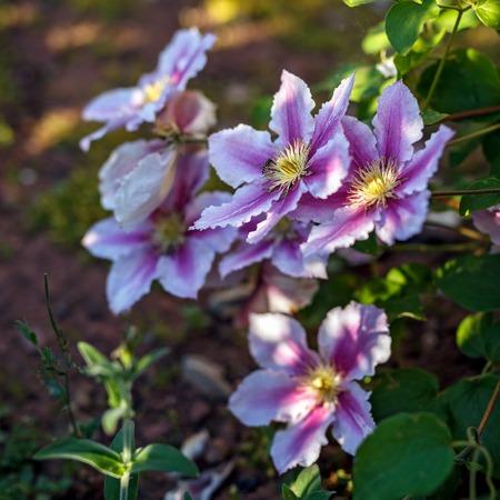 beautiful deep pink, Purple flower Clematis in garden