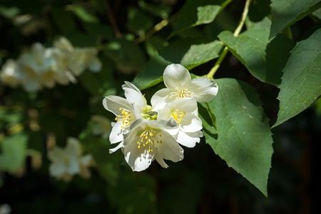 close up blooming jasmine flower on bush in garden, selected focus Zdjęcie Seryjne