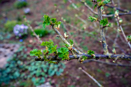 Black currant branches with buds and First leaves ready to open.