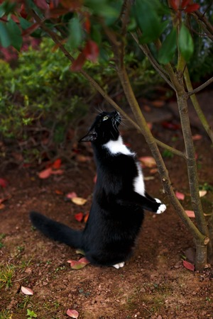 Black and white cat hunting under tree in garden