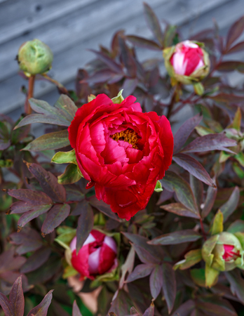 Red Itoh Peony in spring home garden. Stock Photo