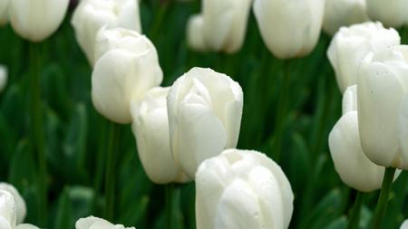 white tulip flowers in spring garden, park.