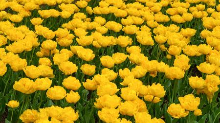 beautiful yellow tulip flowers in spring garden.