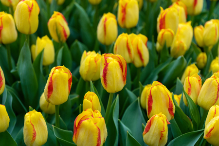 beautiful yellow and pink tulip flowers in spring garden. Imagens