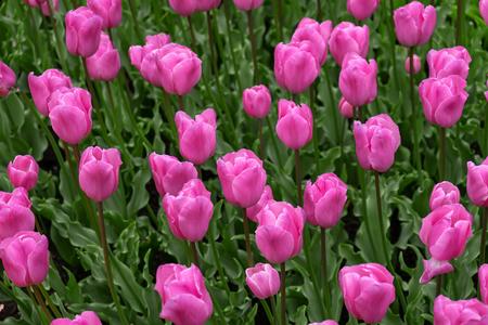 pink tulip flowers in spring garden, park.