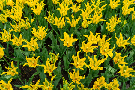 beautiful yellow tulip flowers with pointed petals in spring garden.