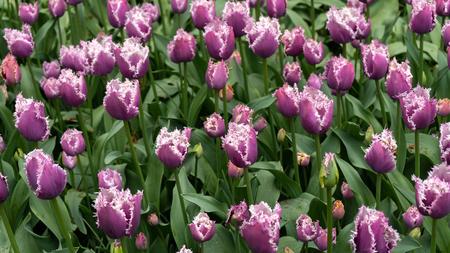 Purple fringrd tulip flowers in spring garden, park.