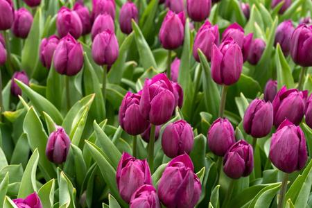 Purple tulip flowers in spring garden, park. Imagens