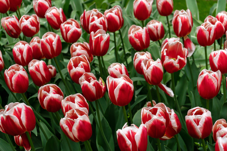 beautiful red and white tulip flowers in spring garden. Imagens