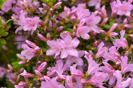 Beautiful Japanese pink Azalea flowers in dense shrubbery garden. Imagens