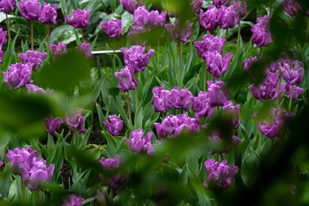 Purple, violet tulip flowers in spring garden, park.