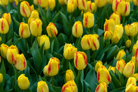 beautiful yellow and pink tulip flowers in spring garden. Stock Photo