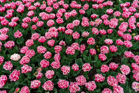 Pink fringed tulips with a white edging in a botanical garden in spring.
