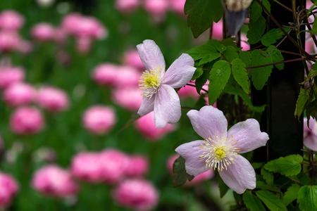 pink Clematis Mayleen. A climbing plant in a Cottage garden setting with tulips on the background.