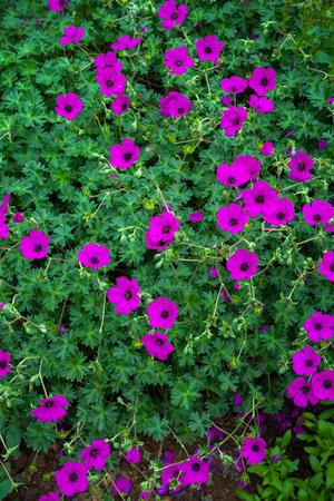 geraniums flowering in an english summer garden