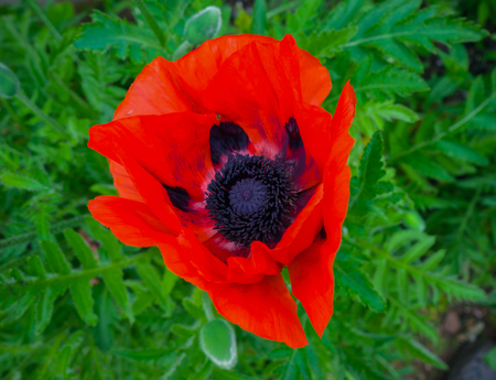 Close up of a single red poppy head in rural English countryside.
