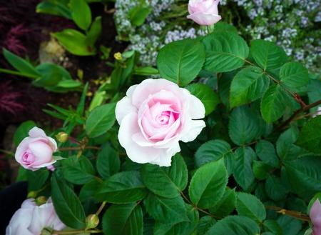english shrub pink Olivia rose Austin in garden