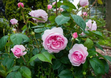 english shrub pink Olivia rose Austin in garden.