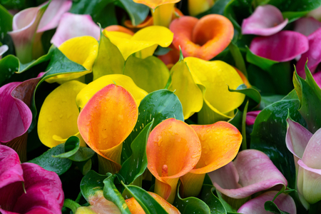 multicoloured yellow, pink orange, purple calla flowers as background Banco de Imagens