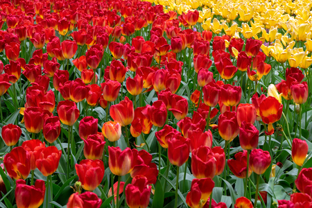 beautiful yellow and pink tulip flowers in spring garden