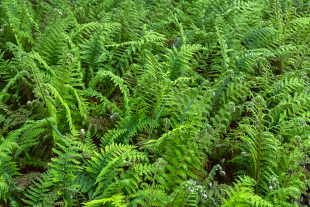 Beautyful ferns leaves green foliage natural floral fern background in woodland garden