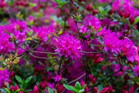 pink flowers of Rhododendron, Azalea as nature background Zdjęcie Seryjne