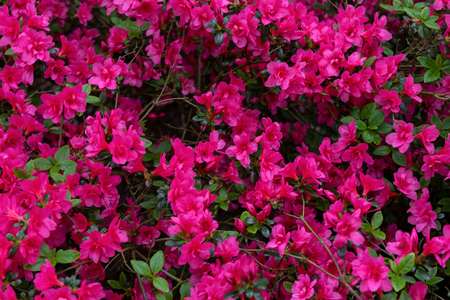 Pink flowers of Azalea japonica, Rhododendron as nature background
