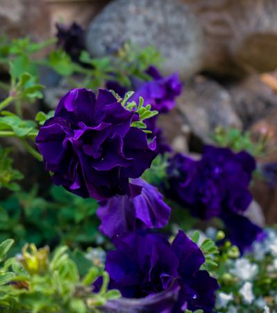 Bright dark violet petunia flower close up Zdjęcie Seryjne