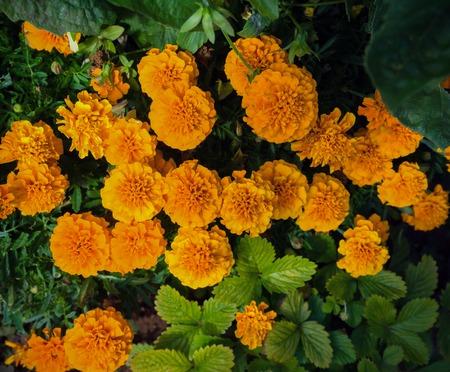 Dwarf French Marigolds in garden flower bed background