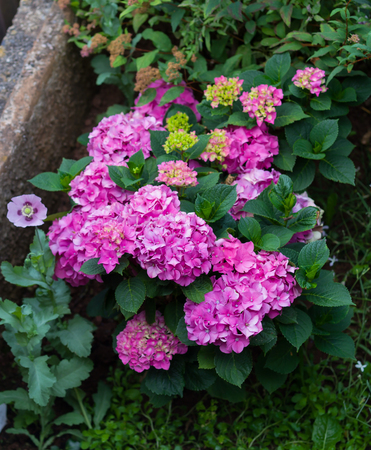 Beautiful hydrangea bush with different varieties and hues of pink and single pink poppy in garden