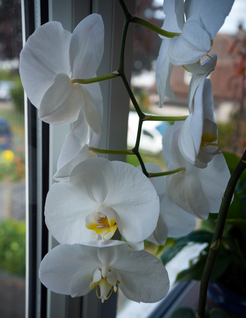 coseup of blooming white phalaenopsis orchid on window sill. House gardening, exotic plant Zdjęcie Seryjne