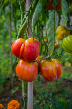 Beef heart beefsteak tomato ripening on a branch in allotment garden